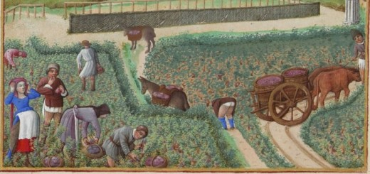 La récolte du raisin en septembre. Dans cette miniature du XVe siècle, on remarque que la vigne ne forme pas de longs alignements comme aujourd'hui. Détail des Très Riches Heures du duc de Berry, Septembre (Musée Condé à Chantilly)